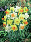 Narcissus Mixed Trumpet