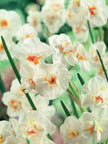 Narcissus DOSir Winston Churchill
