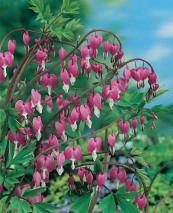 Dicentra Pink