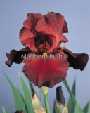 Bearded Iris warchief