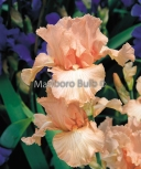 Bearded Iris Beverly Sills