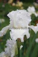 Bearded Iris Immortality