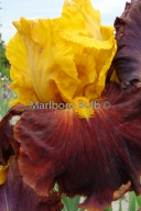 Bearded Iris Fiesta Time