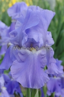 Bearded Iris Sugar Blues