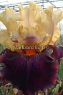 Bearded Iris Foreign Legion