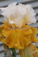 Bearded Iris Tour de France