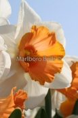 Narcissus Chromacolor Large Cup