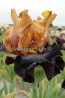 Bearded Iris Vigilante
