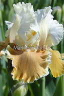 Bearded Iris English Charm_