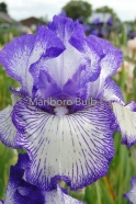 Bearded Iris Autumn Circus