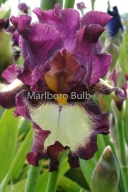 Bearded Iris I've got Rhythm
