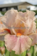 Bearded Iris June Rose