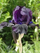 Bearded Iris Black Watch
