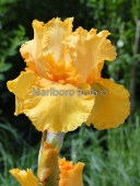 Bearded Iris Skyfire