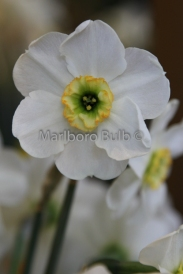Narcissus Green Eye Poetaz