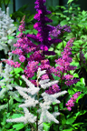 Astilbe x arendsii Mischung