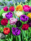 Tulipa Double Early Mischung